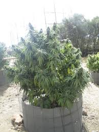 Northern Lights Outdoor Grow Motherlode Gardens 2014 Cannabis Growing Outdoors
