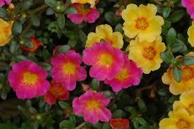 flowers in garden images file unidentified portulaca flowering in a garden 4 jpg