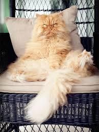 meet garfi the world u0027s angriest cat