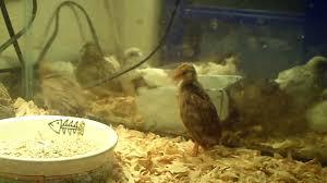 harlequin quail youtube