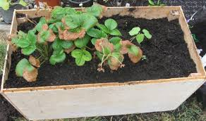 Strawberry Bed My First Garden Growing Tips Strawberries In Raised Beds And