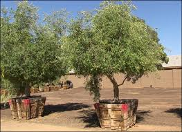 fruitless olive tree search landscaping ideas
