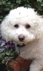 poodle x bichon frise 523 best poodle images on pinterest toy poodles toys and doodles