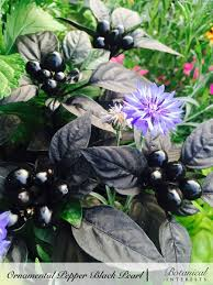 ornamental pepper black pearl jpg