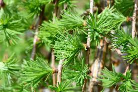 free images branch flower evergreen botany fir