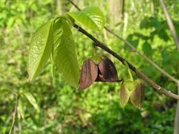 native pa plants native trees of indiana walk
