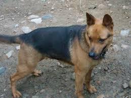 belgian shepherd malinois mix malinois pitbull mix very rare dog breed anyone else with similar