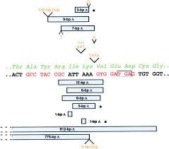 targeted chromosomal cleavage and mutagenesis in drosophila using