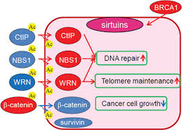 cellular and molecular effects of sirtuins in health and disease