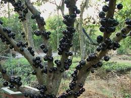 Snake Fruit Tree - top 20 fruits you probably don u0027t know listverse