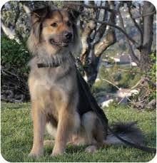 australian shepherd or german shepherd quinn adopted dog laguna niguel ca german shepherd dog
