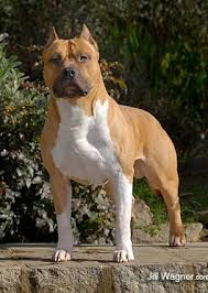 american pit bull terrier vs american staffordshire terrier past litters