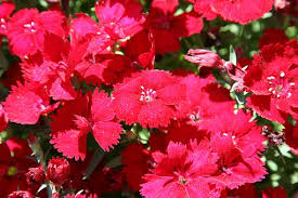 dianthus flower dianthus flower free pictures on pixabay