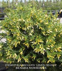 native plant nursery sydney eremophila maculata u0027lemon delight u0027 july 2015 feature plant
