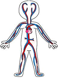 circulatory system coloring page funycoloring