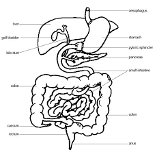 Outline The Anatomy And Physiology Of The Human Body Anatomy And Physiology Of Animals The Gut And Digestion