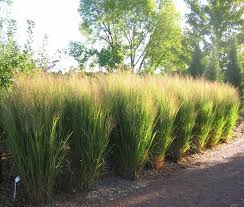 32 best ornamental grass images on gardening