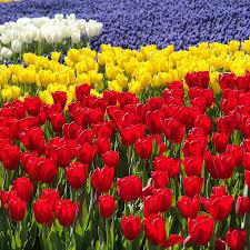 tulip field photograph by gulay gokce