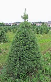 christmas tree trimming at abbey farms takes time