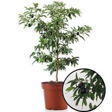 7 best trees images on balcony box garden and coffee