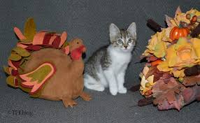 tails from the foster kittens happy thanksgiving