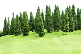 pine trees for sale lowest prices online save 80 buy grower direct