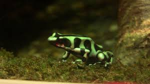 poison dart frogs rainforest animals for kids
