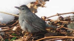 consider the catbird the surprising secrets of a common backyard