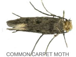 Tiny Moths In My Bathroom Identify Your Moth Problem With Moth Control Direct