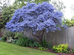 ceanothus flowering evergreen grown as a tree picmia