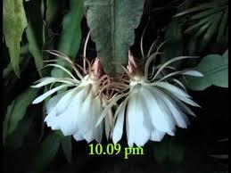 of bethlehem flower of bethlehem brahmakamal