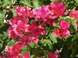 Heat Resistant Plants Bougainvillea Is 10 U2013 In Our Top 10 Heat Resistant Plants U2013 Tjs