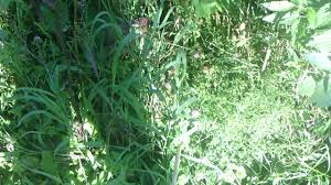 wisconsin native plants wisconsin medicinal herbs near rice lake spring time wild