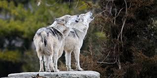 wildlife images Speaking for wildlife overview defenders of wildlife png