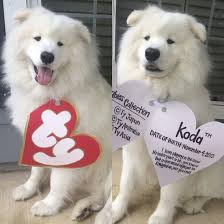 Halloween T Shirts For Dogs by My Dog Kodathesamoyed In His Beanie Baby Costume For Halloween
