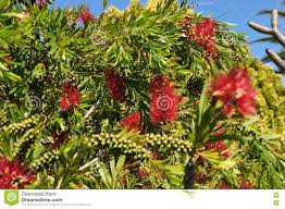 bottlebrush flower plant tree and seeds callistemon and belong to