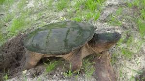 big snapping turtle burying eggs in the sand youtube