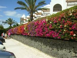 Bougainvillea Topiary - best 25 bougainvillea ideas on pinterest bougainvillea colors