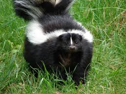 skunk facts history useful information and amazing pictures
