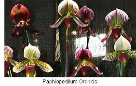 buy an orchid buy orchid plants paphiopedilum orchids are commonly known as
