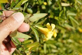 yellow jasmine carolina yellow jasmine false jasmine gelsemium