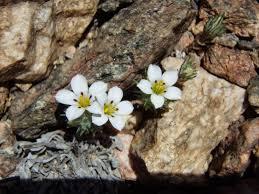 rancho santa ana botanic garden blog for love of linanthus