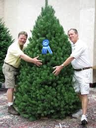 scotch pine christmas tree about us pictures and information
