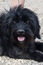 affenpinscher terrier mix cmsr u2014adopted 2013