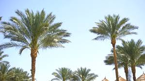 the palm trees in front of the houses of expensive villas a row