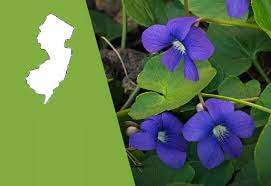 State Flower Of Colorado - new jersey state flower the common meadow violet proflowers blog