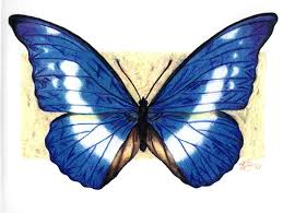 blue morpho butterfly drawing