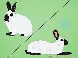 how to care for himalayan rabbits 13 steps with pictures
