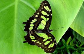 20 most beautiful butterflies on earth and largest in