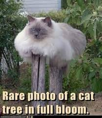 Cute Cats Memes - 15 purrsome cat breeds that behave like dogs the catdogs funny